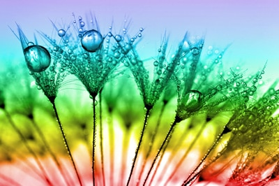 closeup of a dandelion flower with dewdrops on it