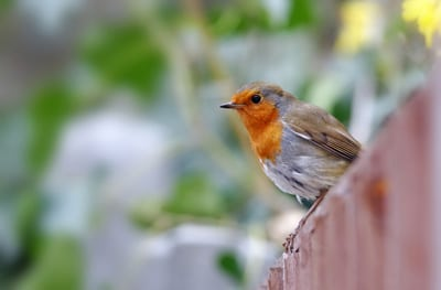 image of a small bird with an orange throat sitting on a fence