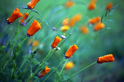 image of orange poppies about to bloom
